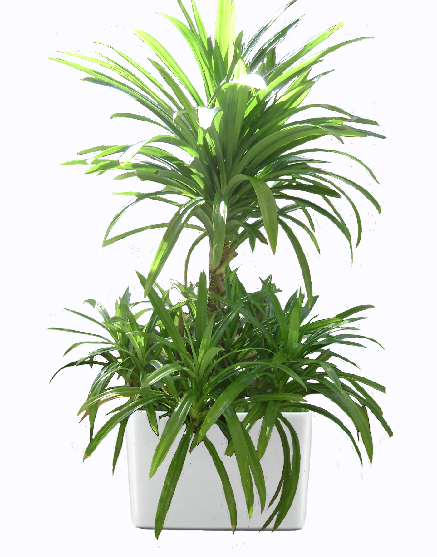 Rent a plant large plants green world builders inc for Philippine garden plants